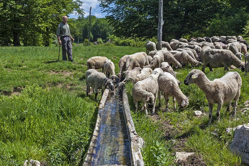 abreuvoir mouton