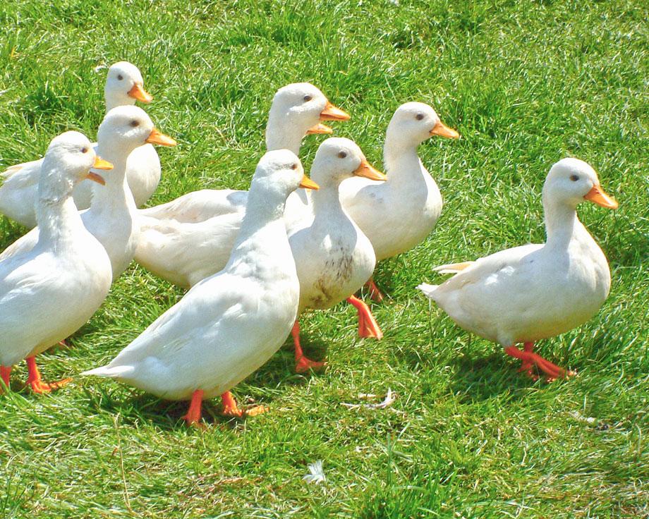 achat canard