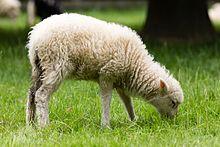 achat mouton d ouessant