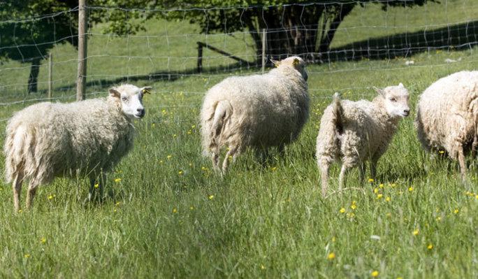 achat mouton vivant