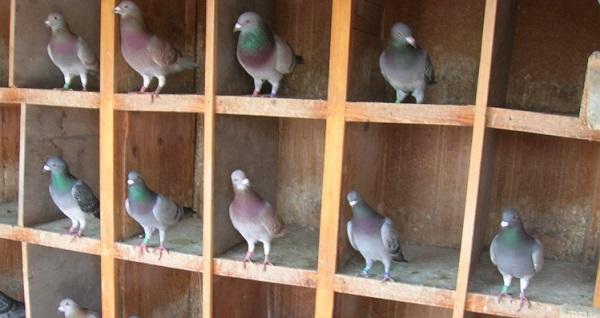 achat pigeon