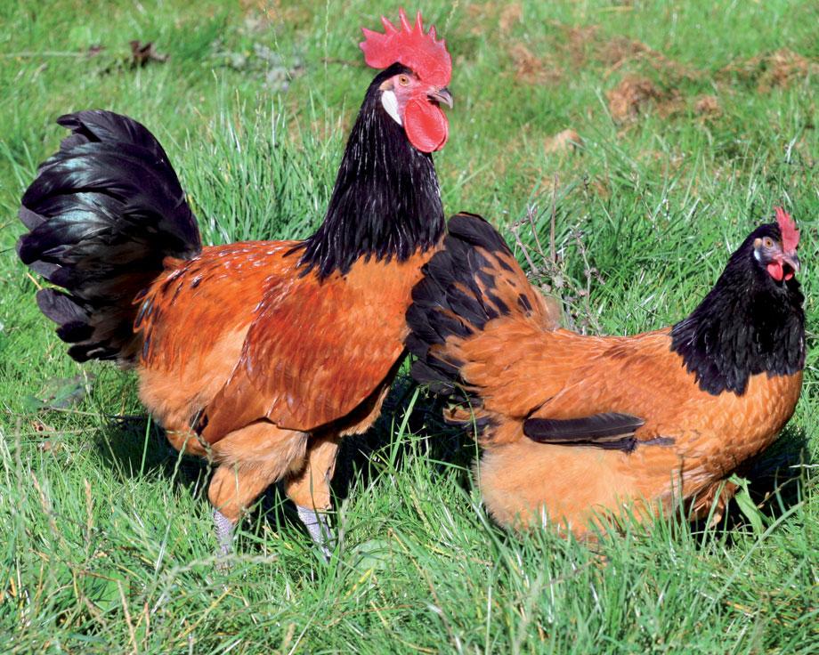 achat poule marans
