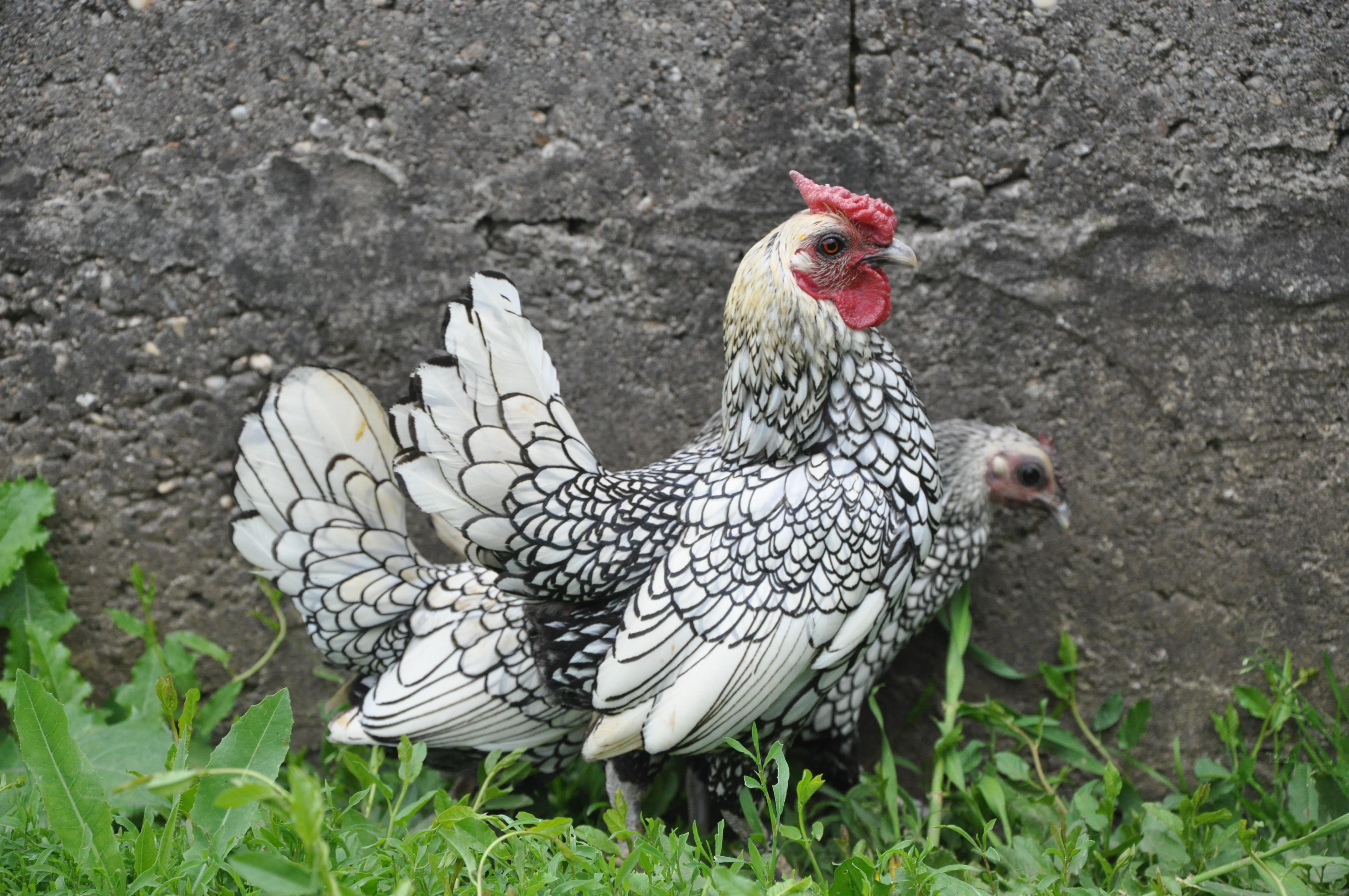 acheter des poules de race