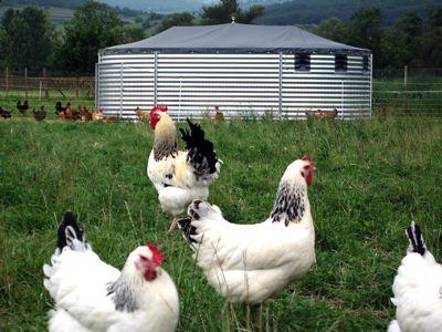 acheter des poules pondeuses