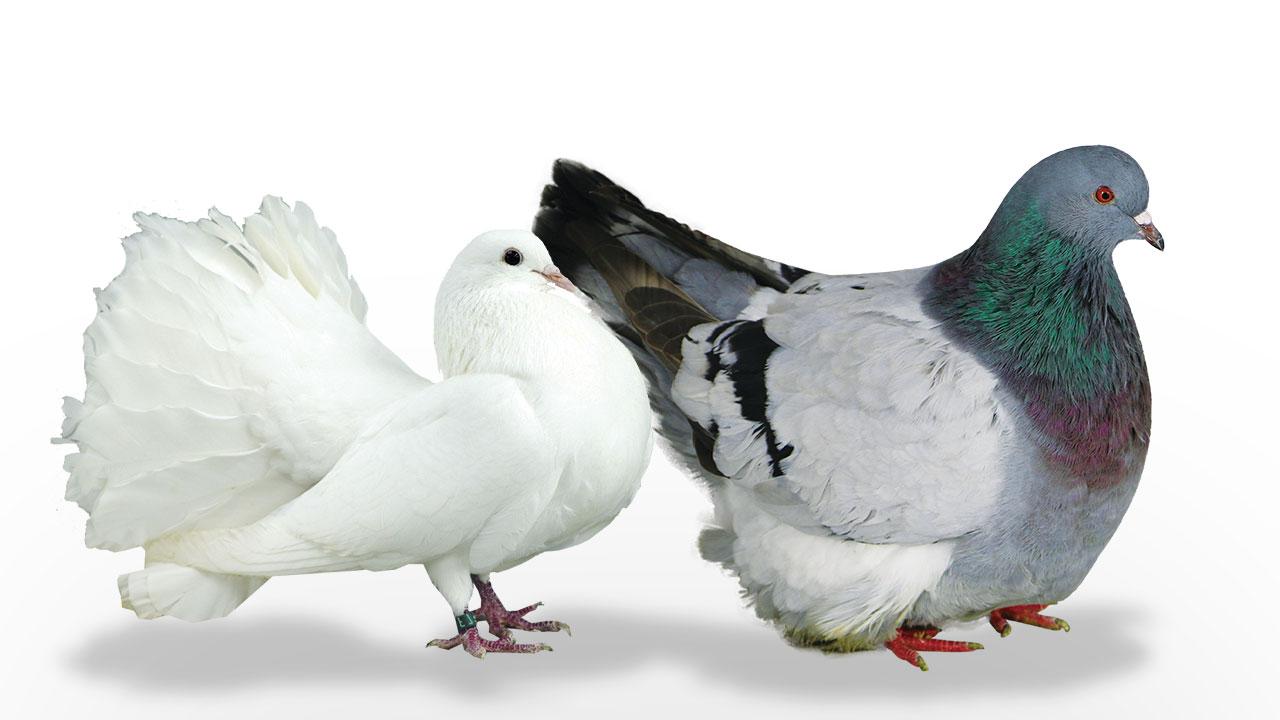 acheter pigeon