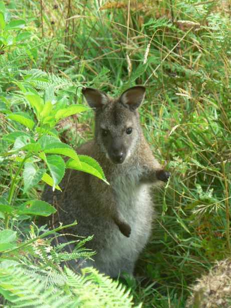 acheter un wallaby