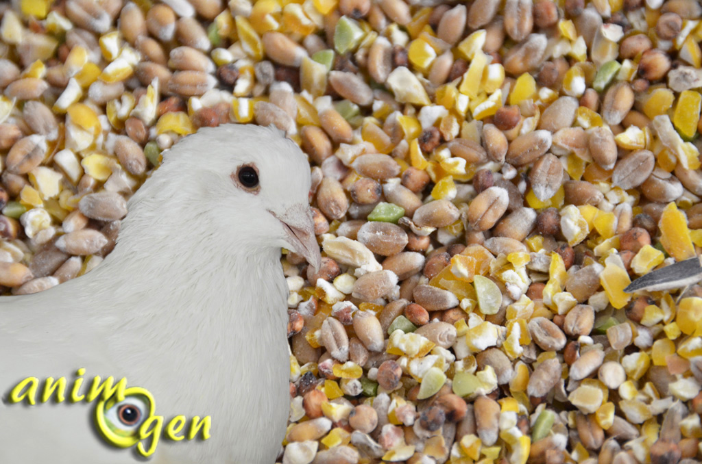 alimentation pigeon