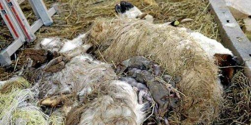 animaux de la ferme a vendre