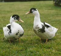 canard blanc et noir