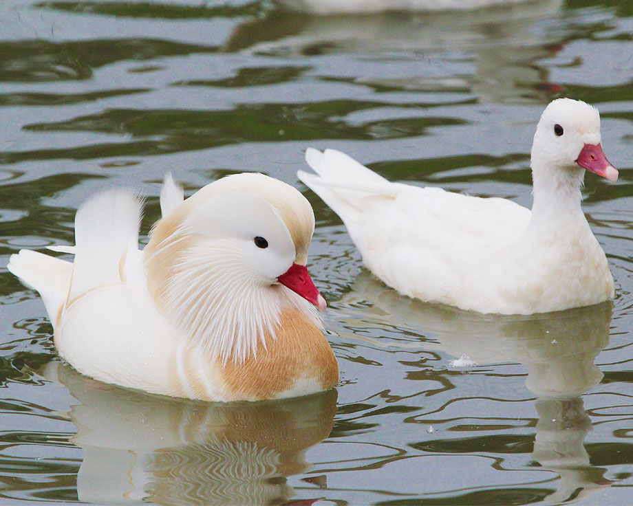 canard carolin blanc
