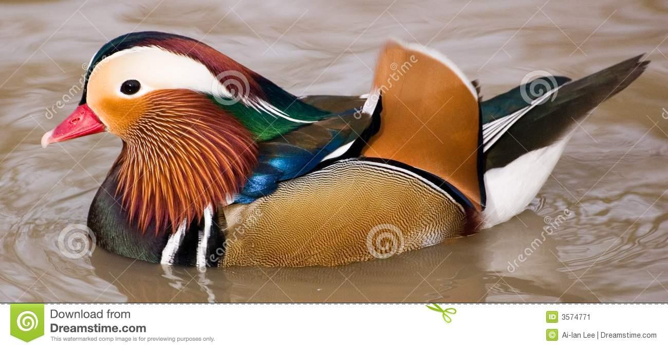 canard colore