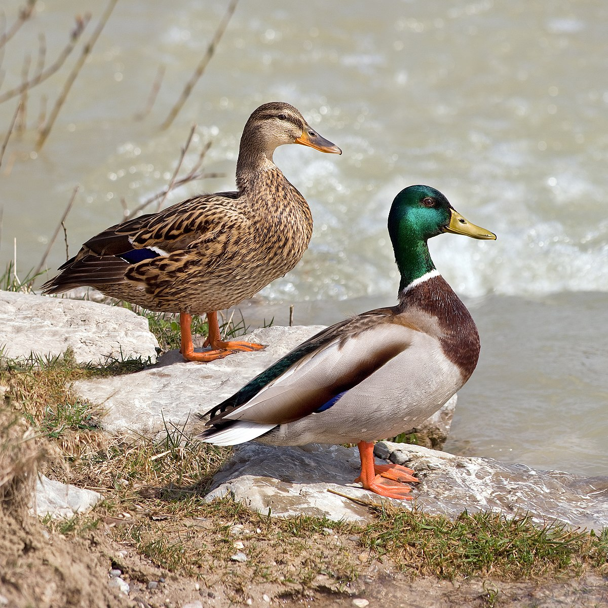 canard colvert reproduction