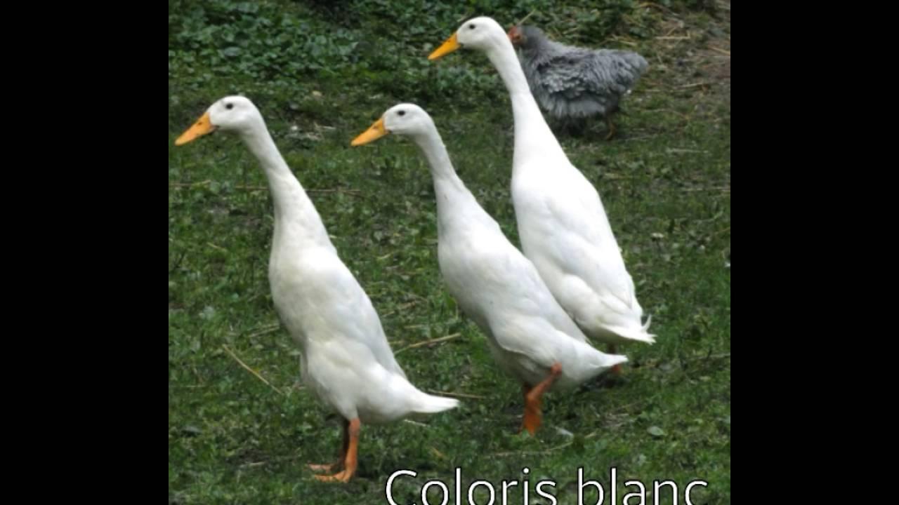 canard indien