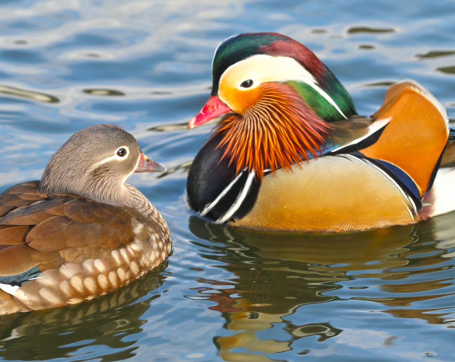 canard mandarin femelle