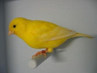 canarie oiseau prix