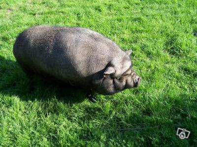 cochon vietnamien nourriture