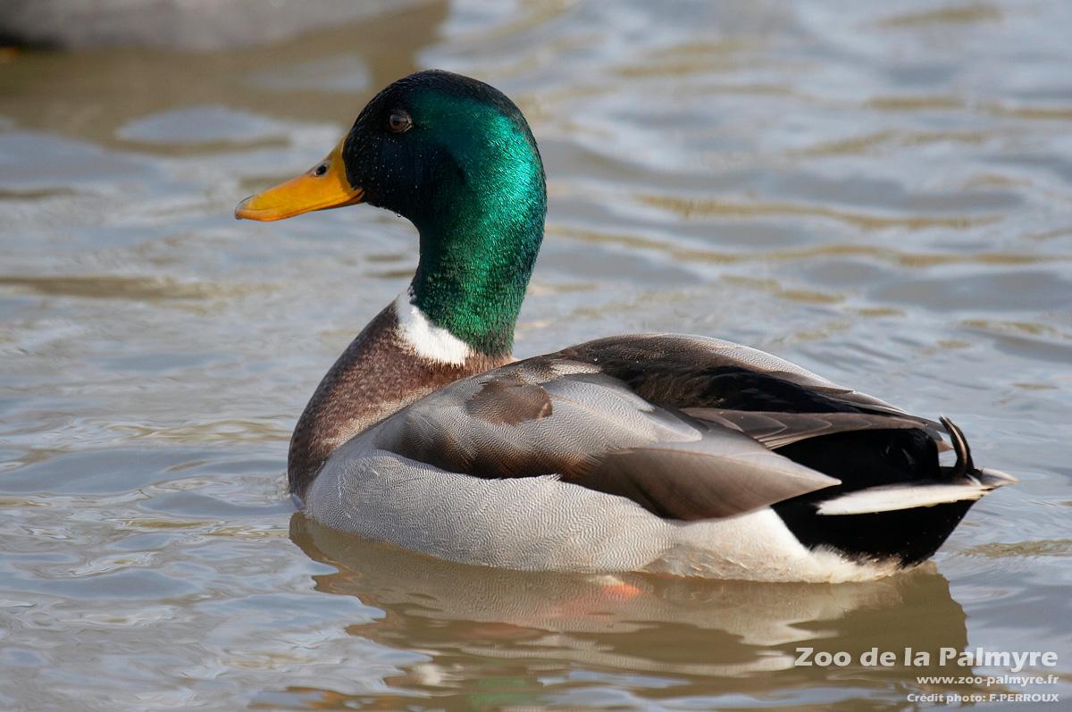 col vert canard