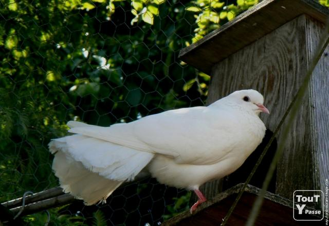 colombe a vendre