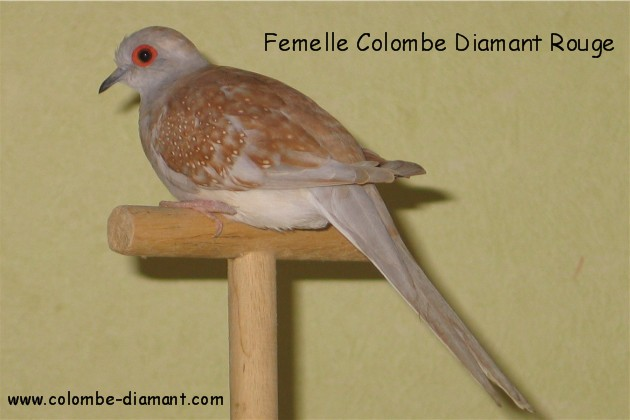 colombe diamant male