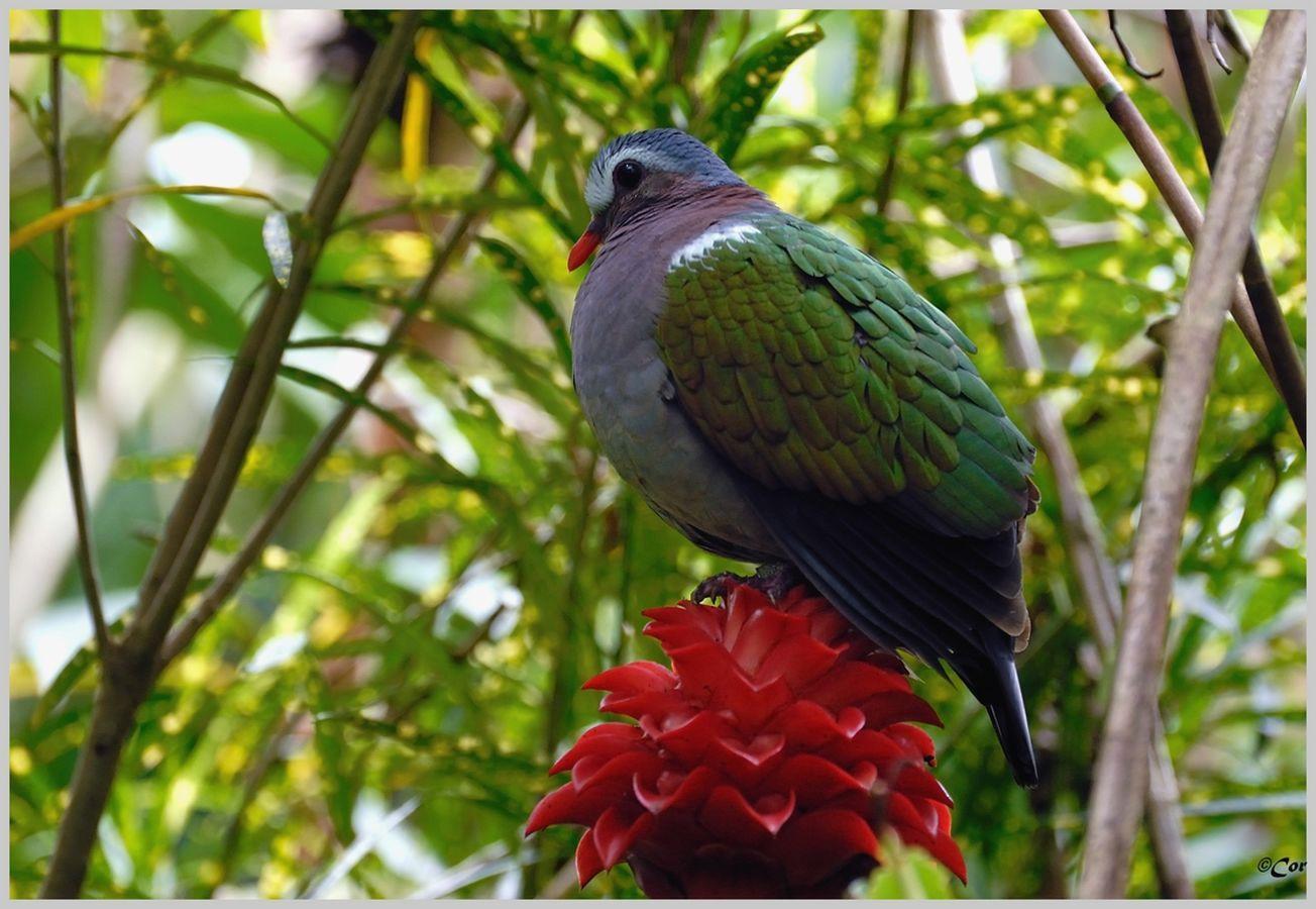 colombe turvert