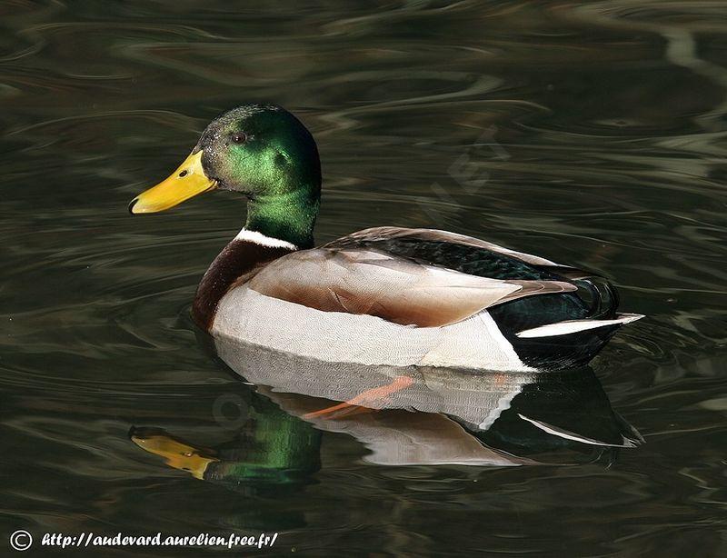 colvert canard