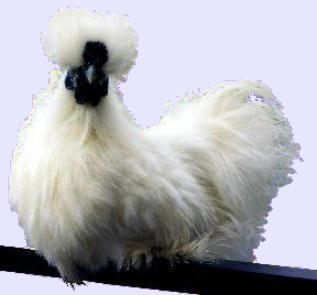 coq de soie