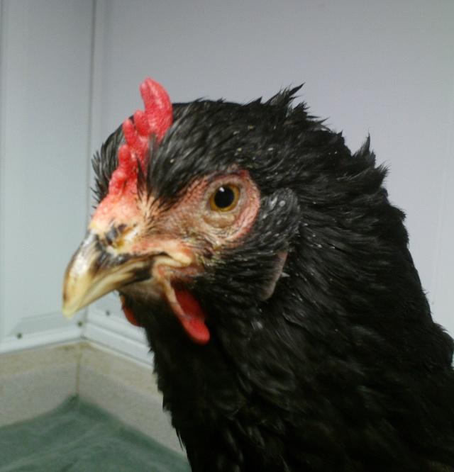 coryza poule