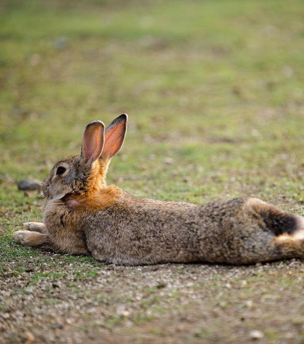 couche pour lapin