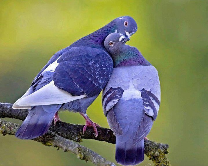 couple de pigeon