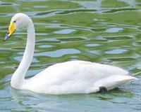 cygne blanc polonais