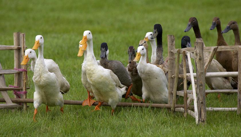 elevage canard