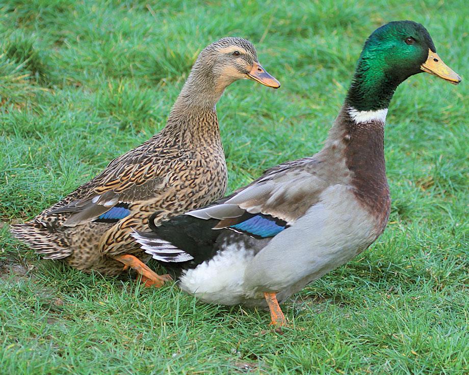 elevage de canard colvert