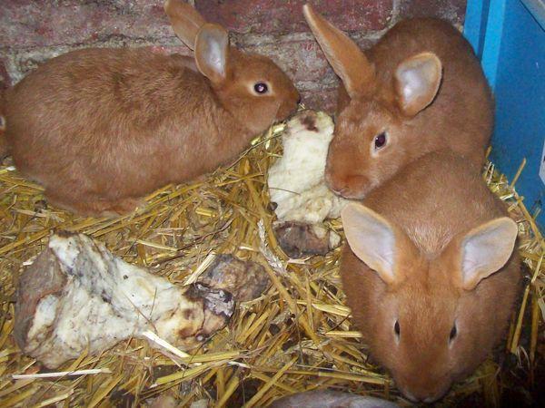 elevage de lapin fauve de bourgogne