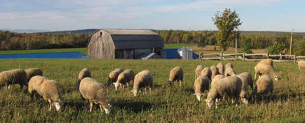 elevage de mouton