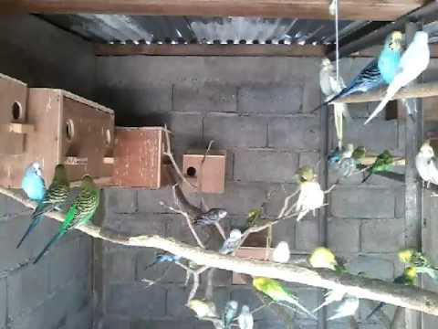 elevage de perruche