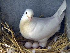 elevage de pigeon ramier