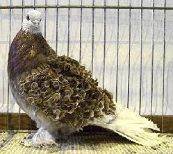 elevage de pigeon