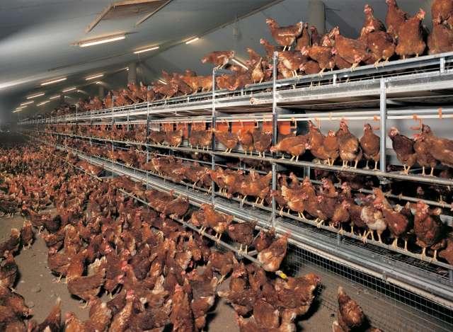 elevage des poules pondeuse