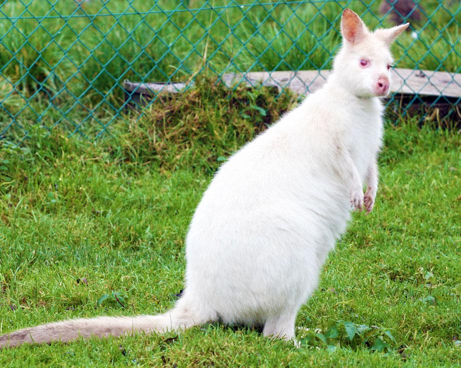 elevage kangourou
