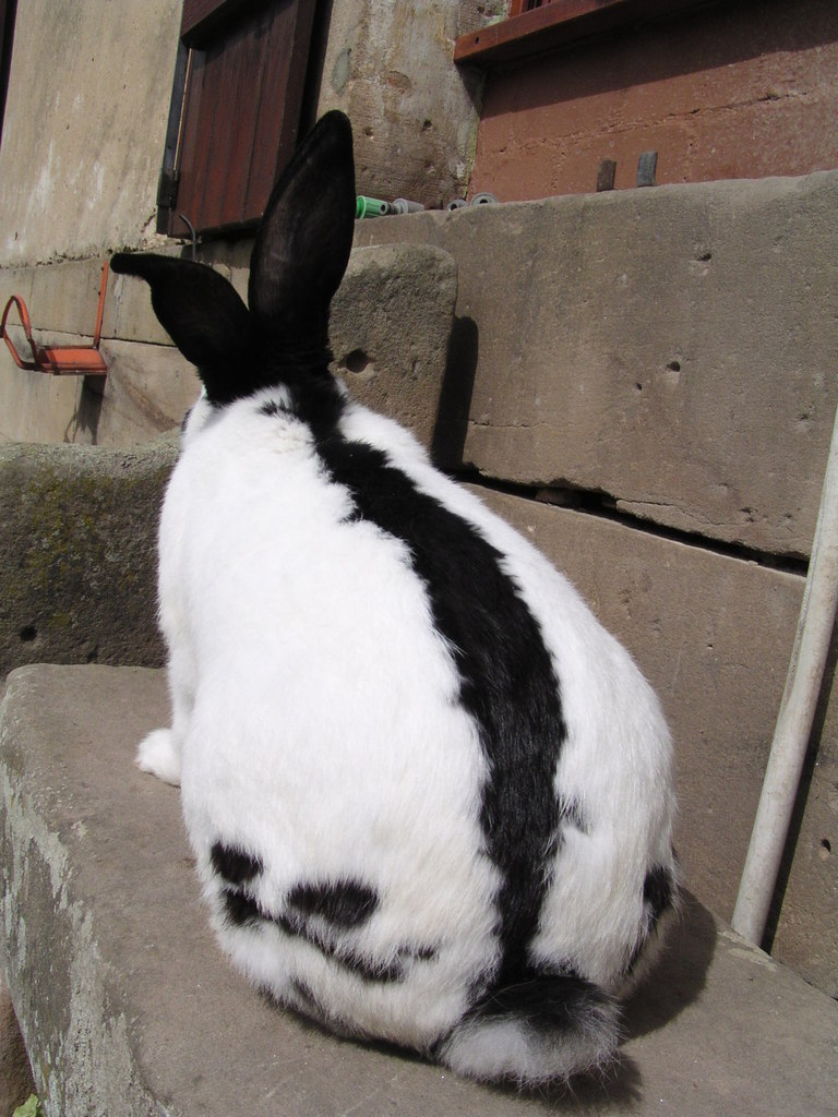 elevage lapin geant papillon