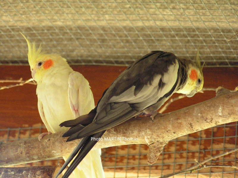 elevage perruche calopsitte