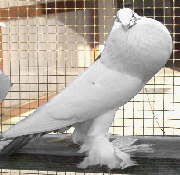 elever pigeon