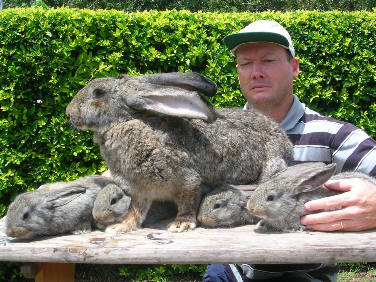 eleveur de lapin geant des flandres