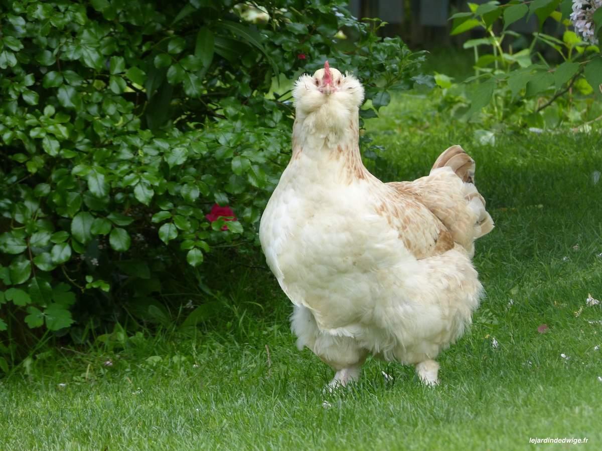 faverolles poule