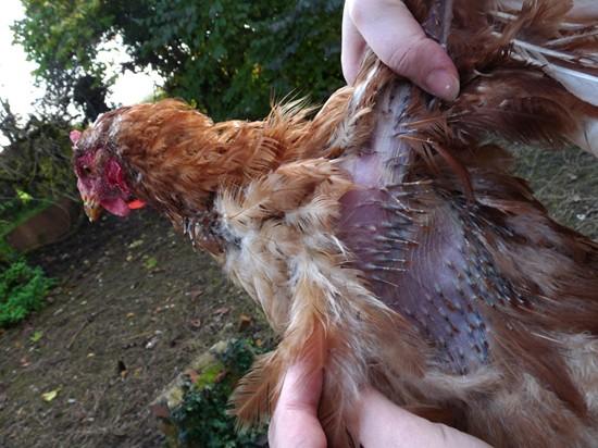 gale deplumante poules