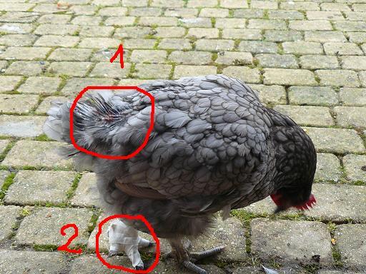 gale des poules