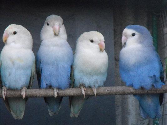 inseparable bleu