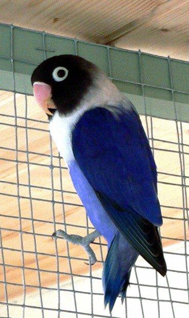 inseparable personata bleu