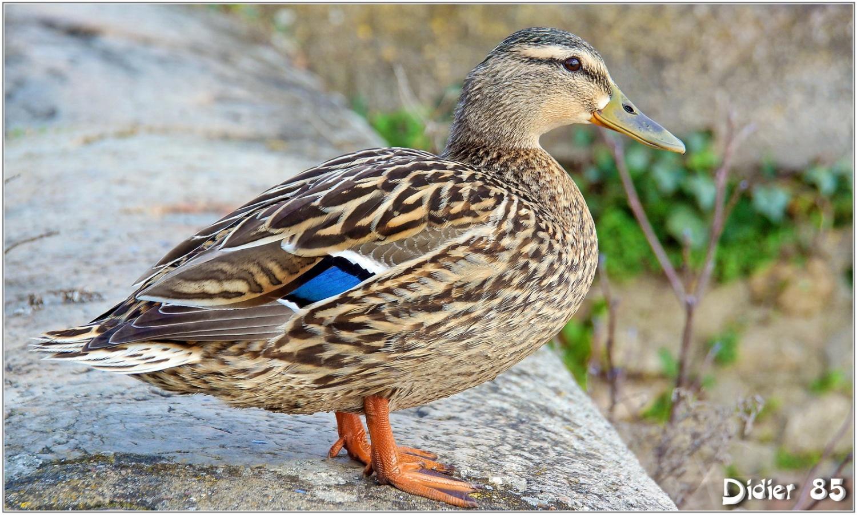 la femelle de canard