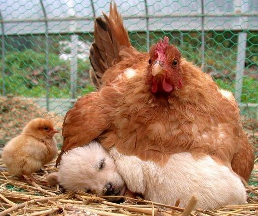 la plus grosse poule du monde